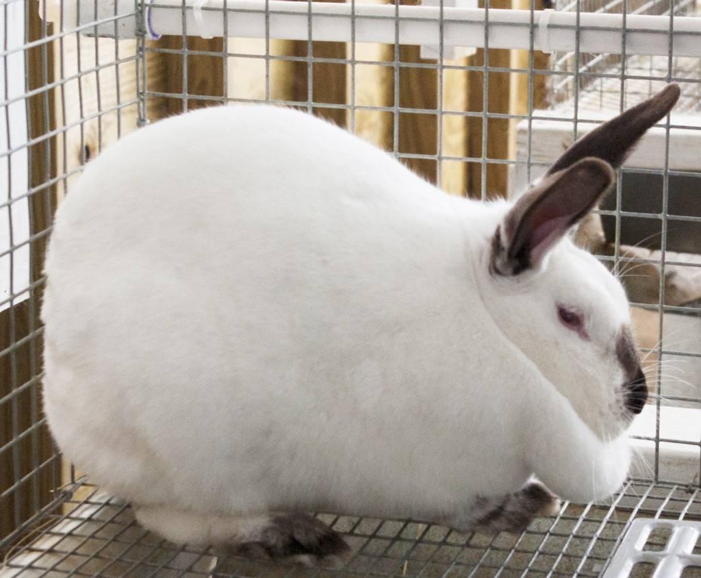 Декоративные кролики: 90 фото самых неприхотливых пород и информация по разведению