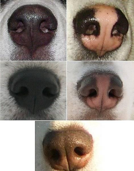 У щенка сухой нос: причины, дополнительные симптомы