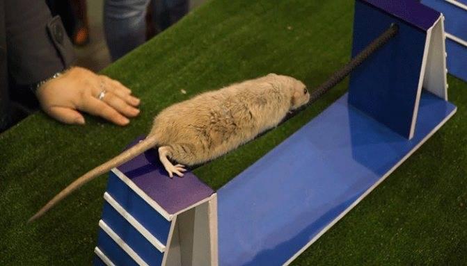 Как просто приручить домашнюю декоративную крысу к рукам