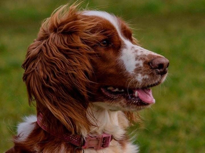 Английский спрингер-спаниель: как выглядит на фото уэльский питомец, описание породы, а также в каком уходе нуждается собака