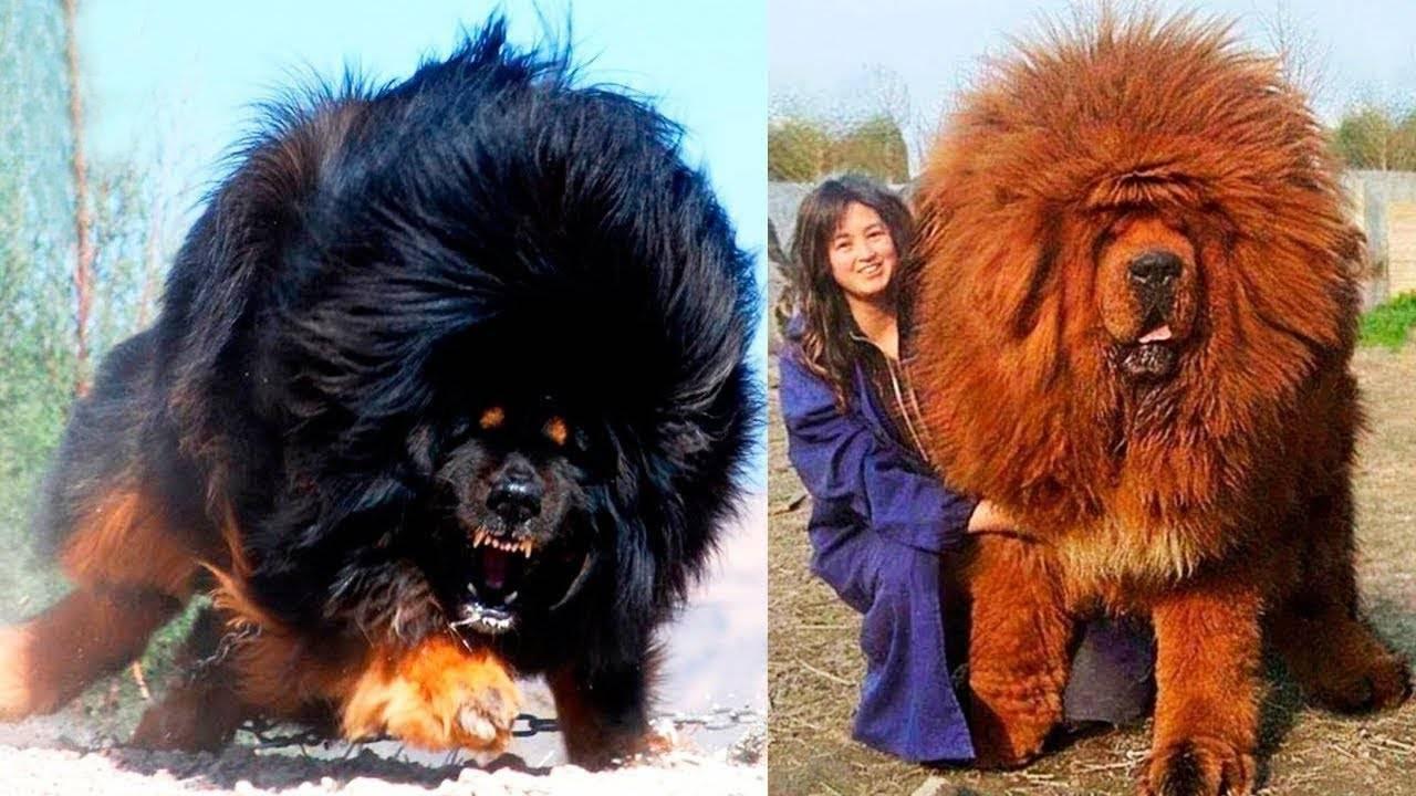 Тибетский мастиф: характеристика породы, фото