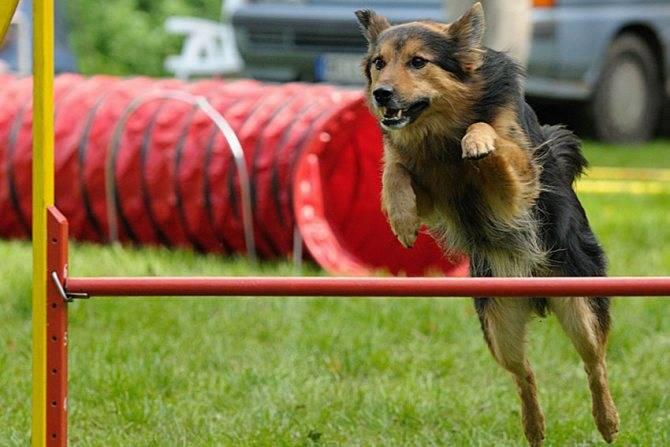 Аджилити для собак — с чего начать?