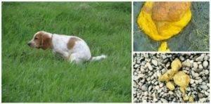 Жидкий стул у собаки или щенка: причины и что делать
