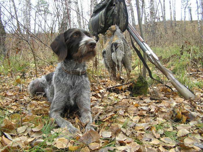 Собака дратхаар — особенности и описание породы