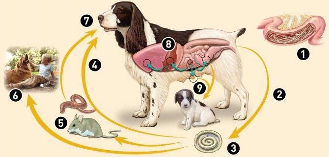 Народные средства от глистов у собак: как вывести паразитов домашними методами и что дать щенку для профилактики? все за и против самостоятельного лечения