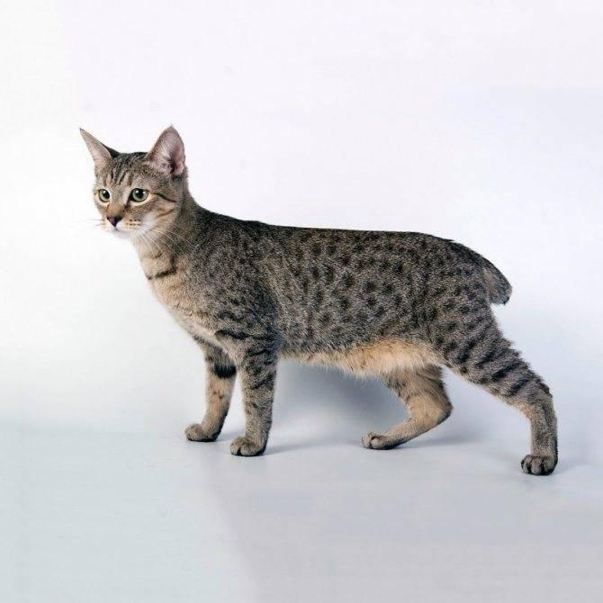 Пиксибоб (кошка): описание породы, характер, отзывы с фото