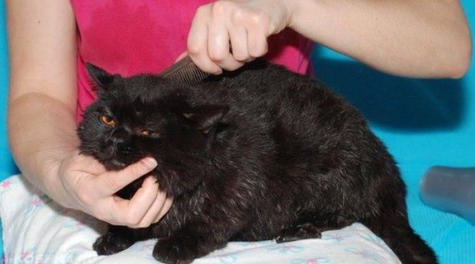 Лечение колтунов у котов