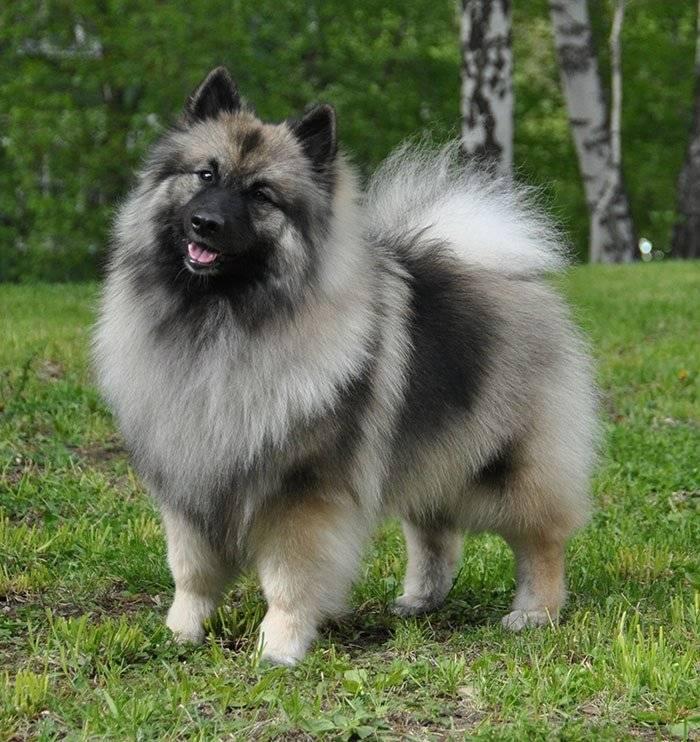 Кеесхонд (вольфшпиц) собака: фото описание породы, характер, цена