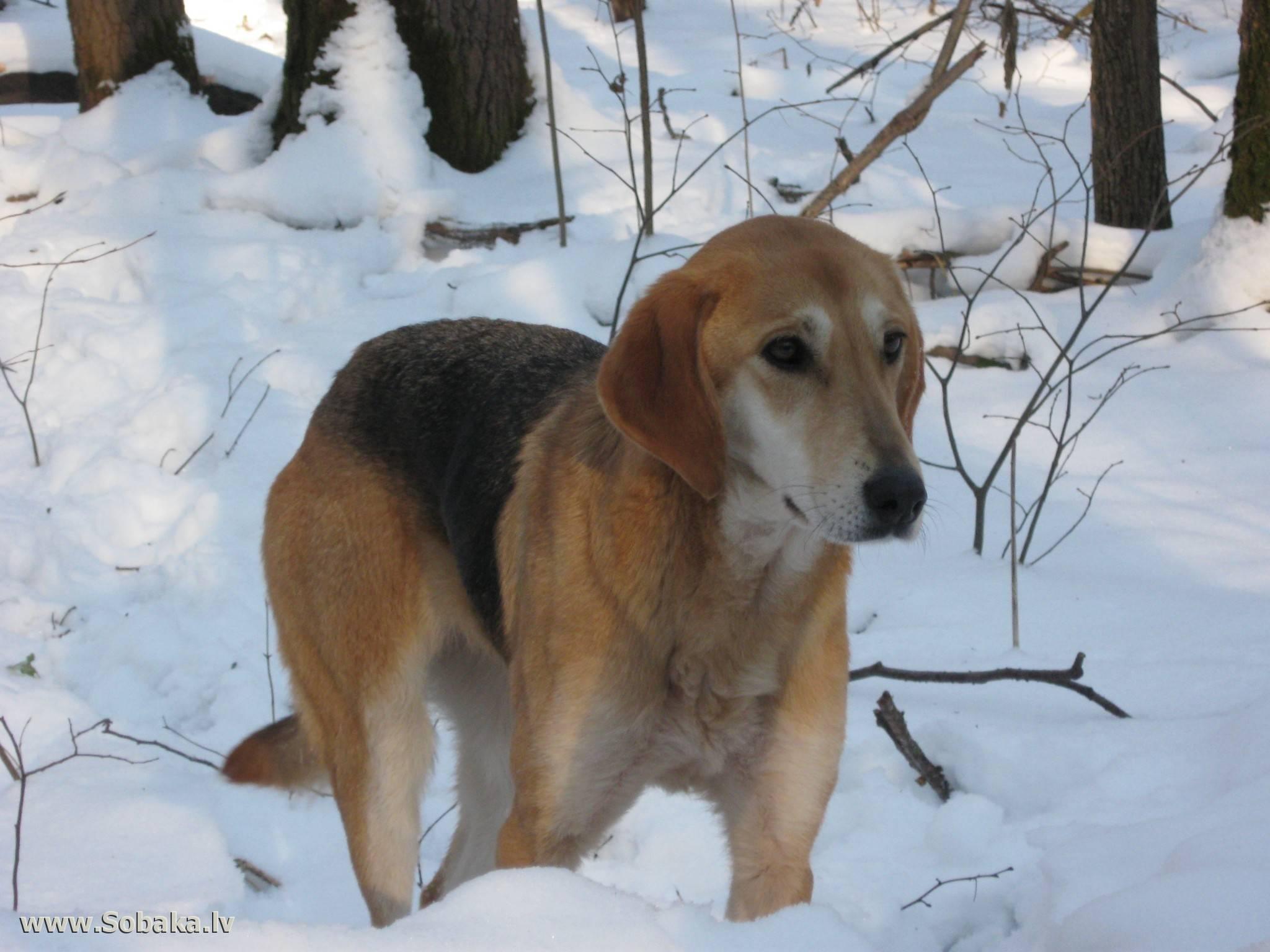 Русская пегая гончая: описание породы, фото, стандарт и характер собаки