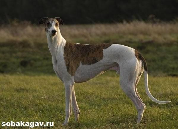 Чем вас удивит собака породы грейхаунд (английская борзая)
