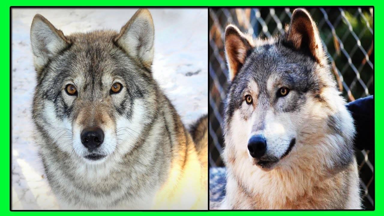 Как отличить волка от собаки внешне: сравнение размеров
