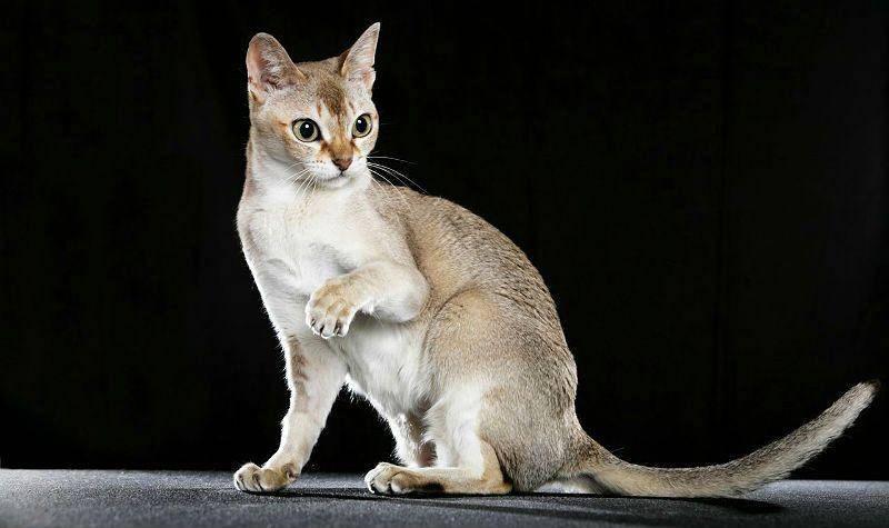 Подробная характеристика тонкинской кошки: внешний вид и характер породы