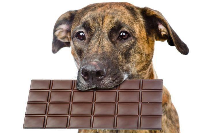 Собака съела шоколад: чем это грозит и что делать?