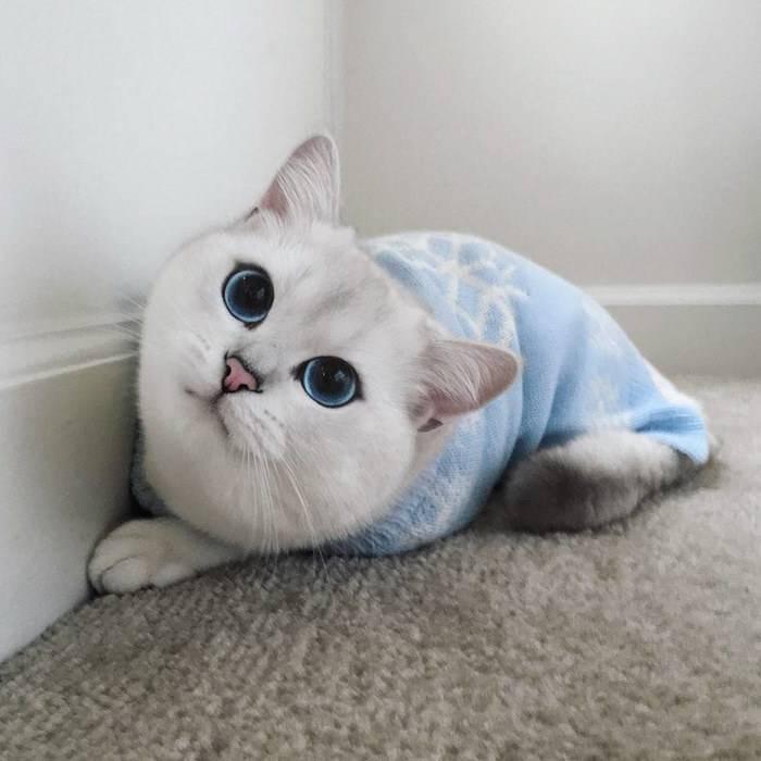 Коби — порода кошек с красивыми глазами