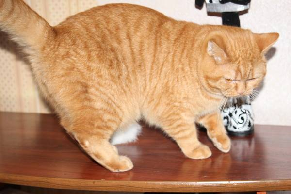 Курдюк у кота: нормы и признаки патологии. почему у кота висит живот? у кота жир на животе свисает