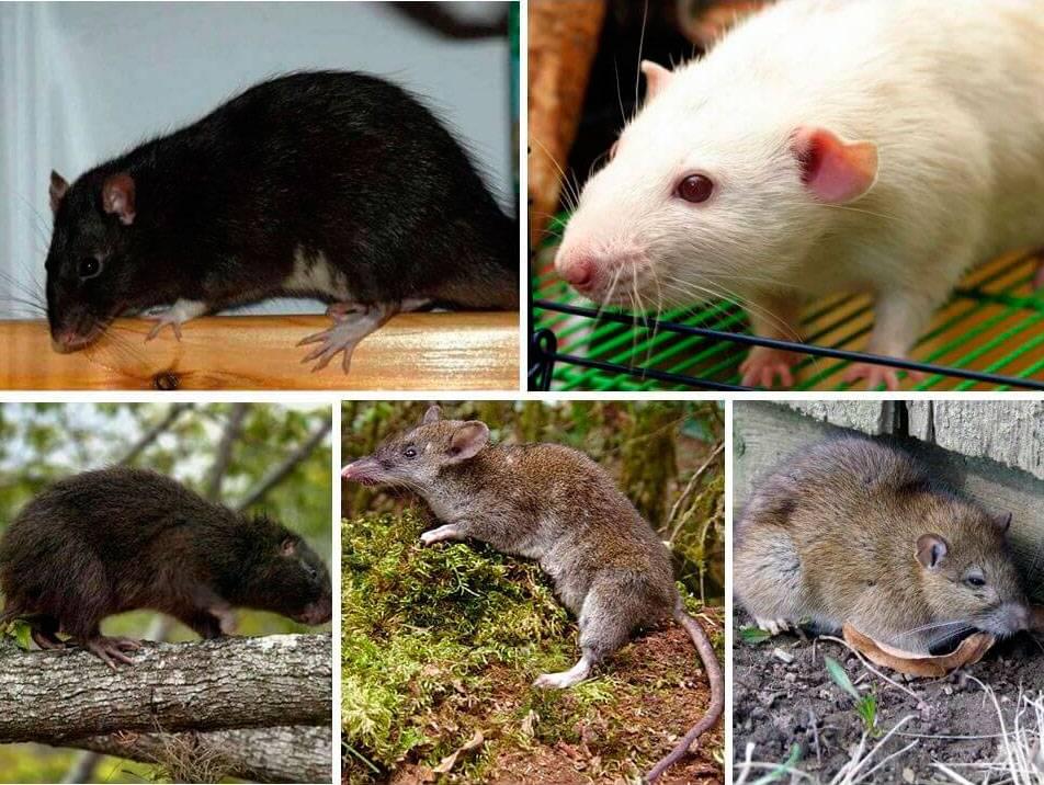 Виды мышей: лесные и полевые, желтогорлая, вред на даче