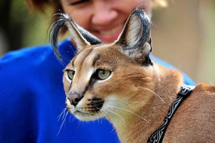Домашняя рысь и другие породы кошек, похожие на неё