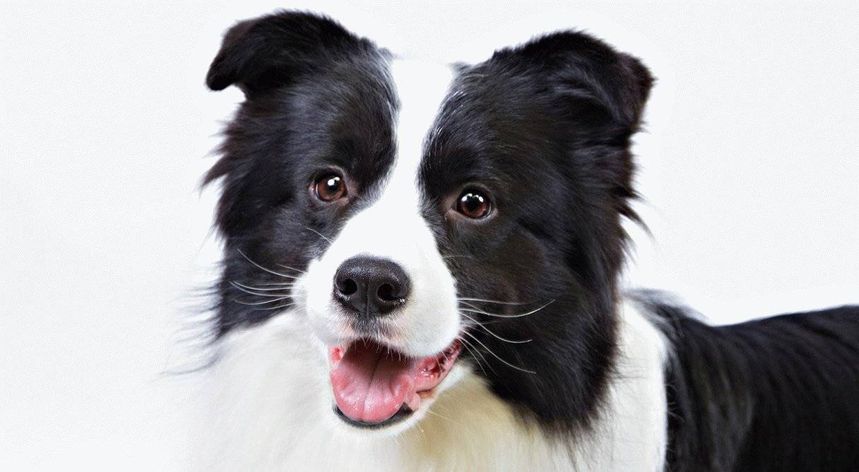 Самые умные породы собак в мире – списки и описания