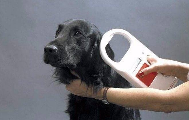 Чипирование собак: для чего необходима процедура, как она проходит