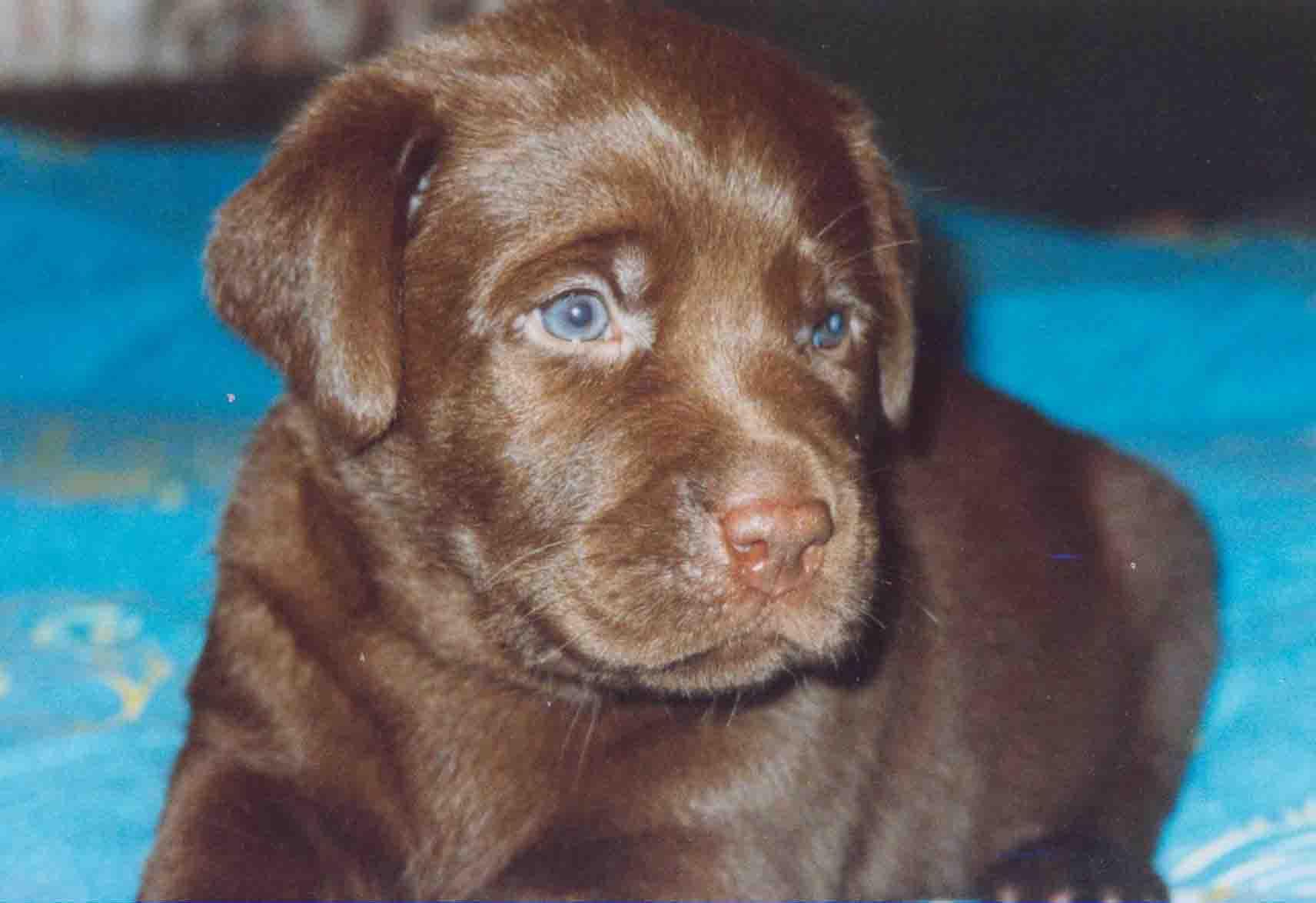 Шоколадный лабрадор (42 фото): описание щенков коричневого цвета с голубыми глазами, клички для собак-мальчиков и девочек окраса шоколад