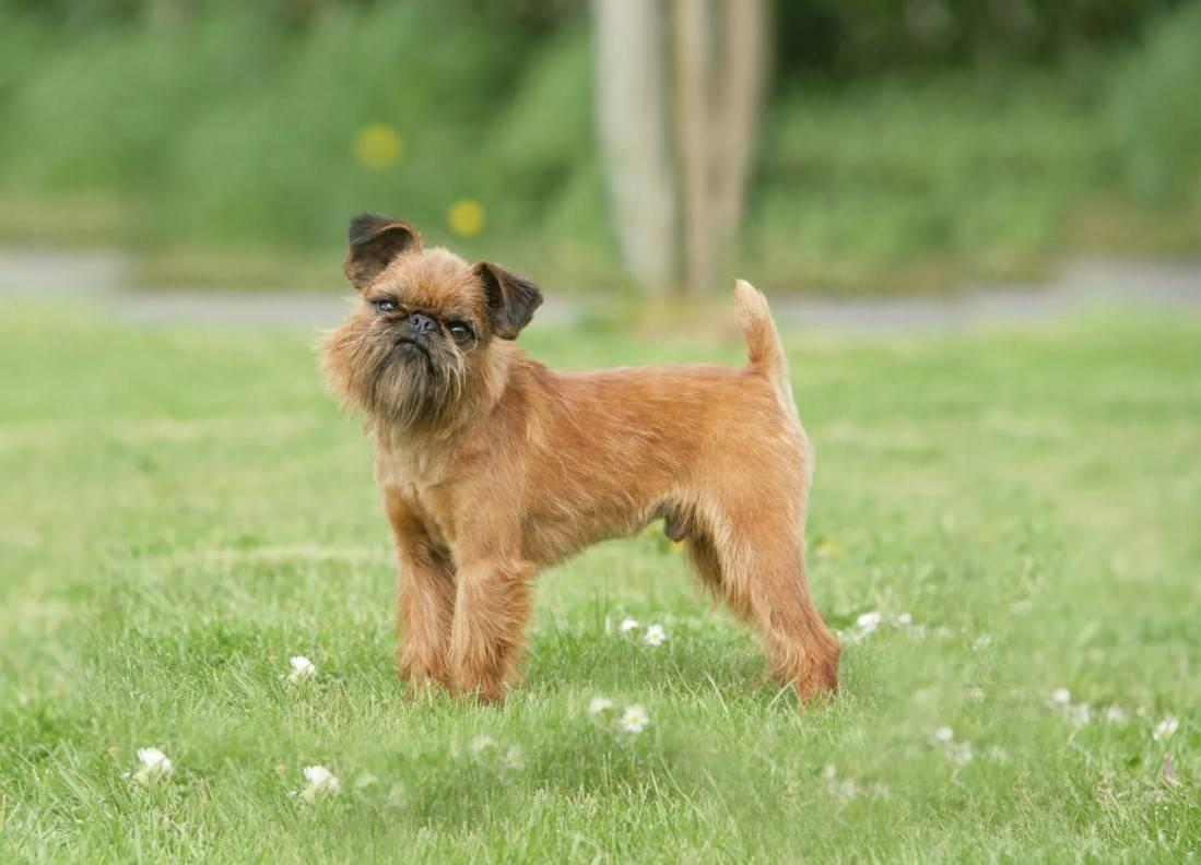 Брюссельский гриффон: характеристика собак и выращивание