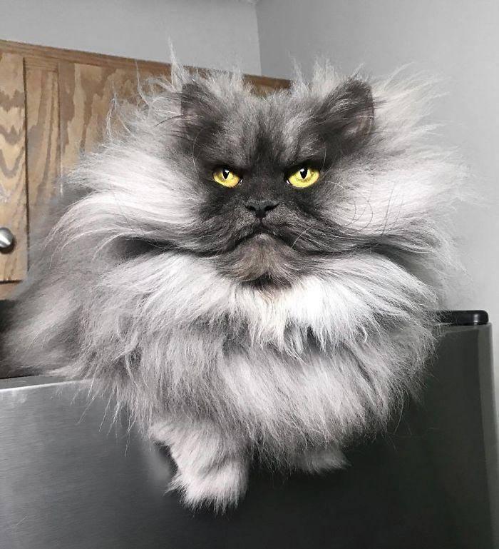 Самая злая порода кошек - топ самых злых пород в мире