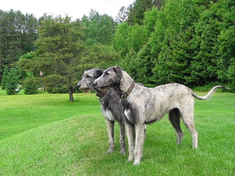 На какие известные породы подразделяется собака волкодав?