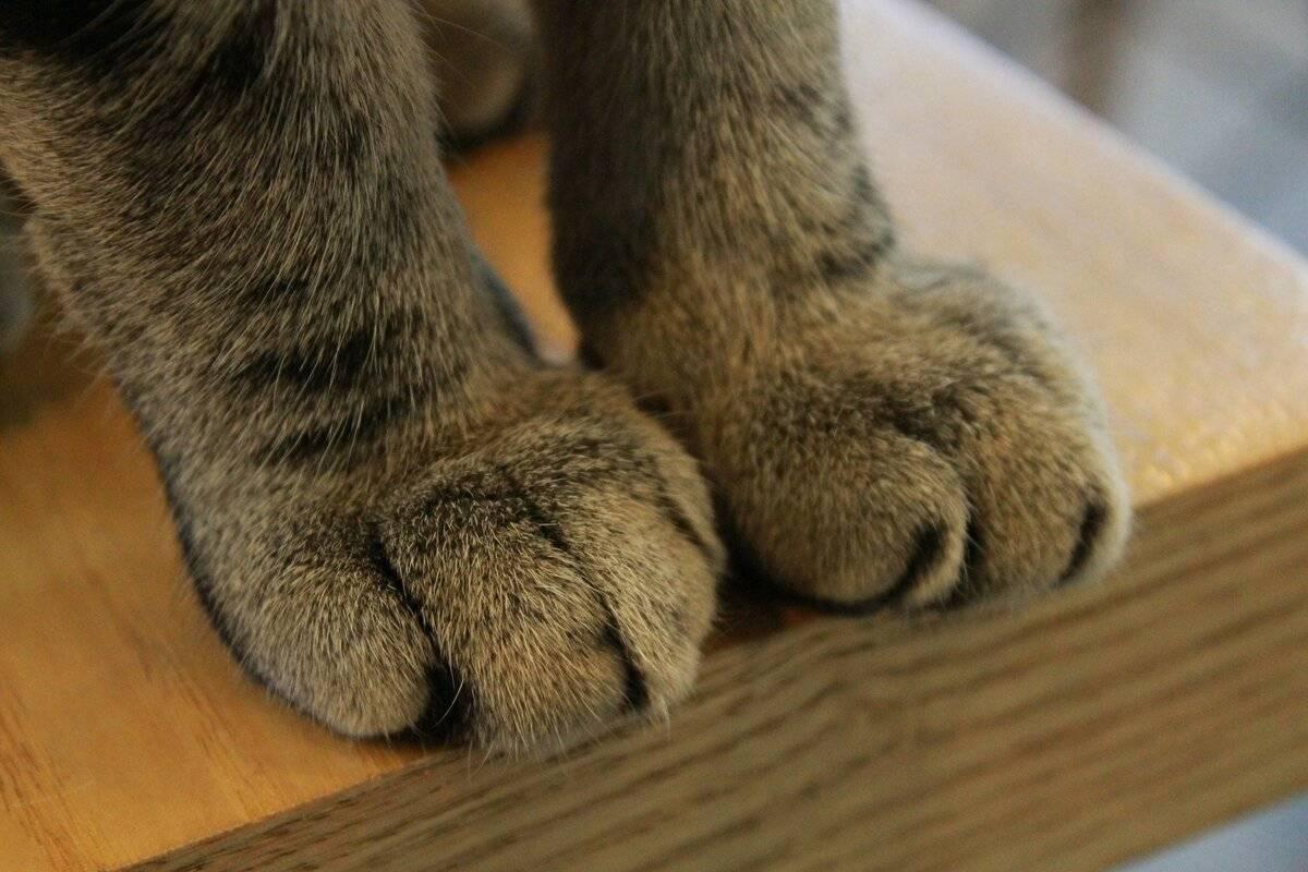 Почему кошка топчет вас лапками: интересные факты