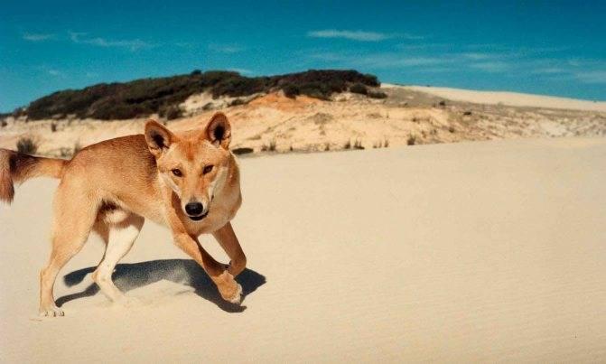 Собака динго – образ жизни, происхождение и описание