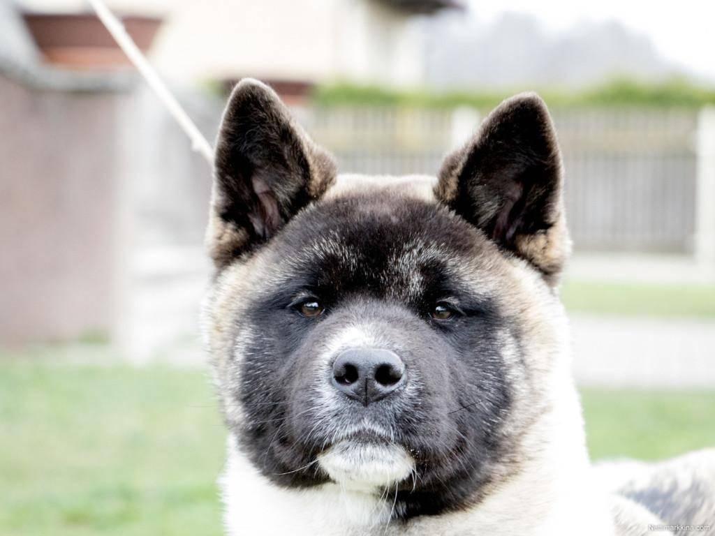 Американская акита – внешний вид породы, характер, уход и содержание в домашних условиях, дрессировка собаки