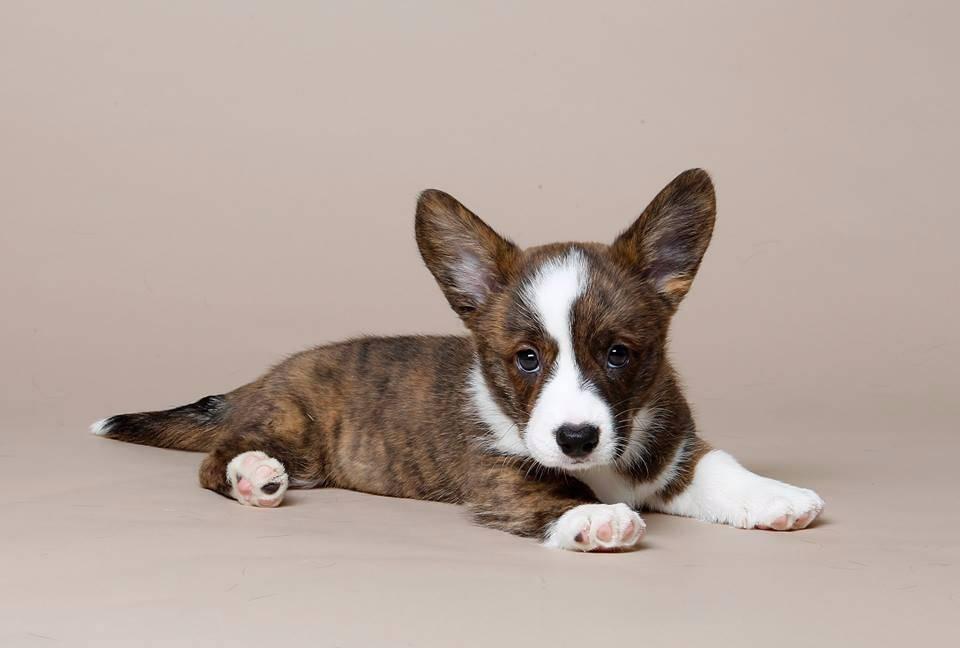 Вельш-корги пемброк: все о собаке, фото, описание породы, характер, цена