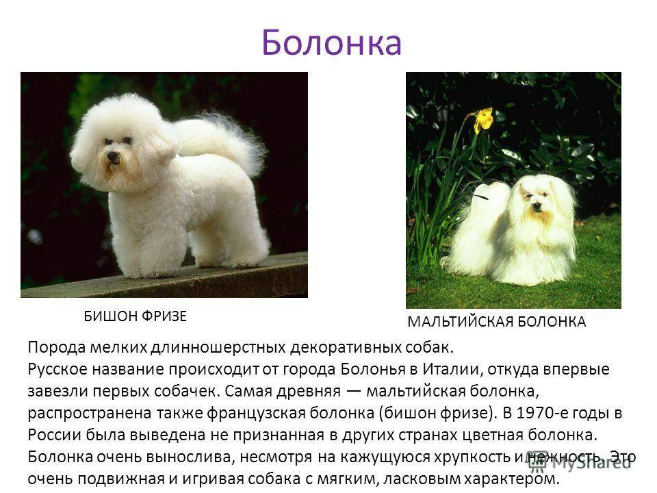 Русская болонка собака. описание, особенности, уход и цена русской болонки | sobakagav.ru