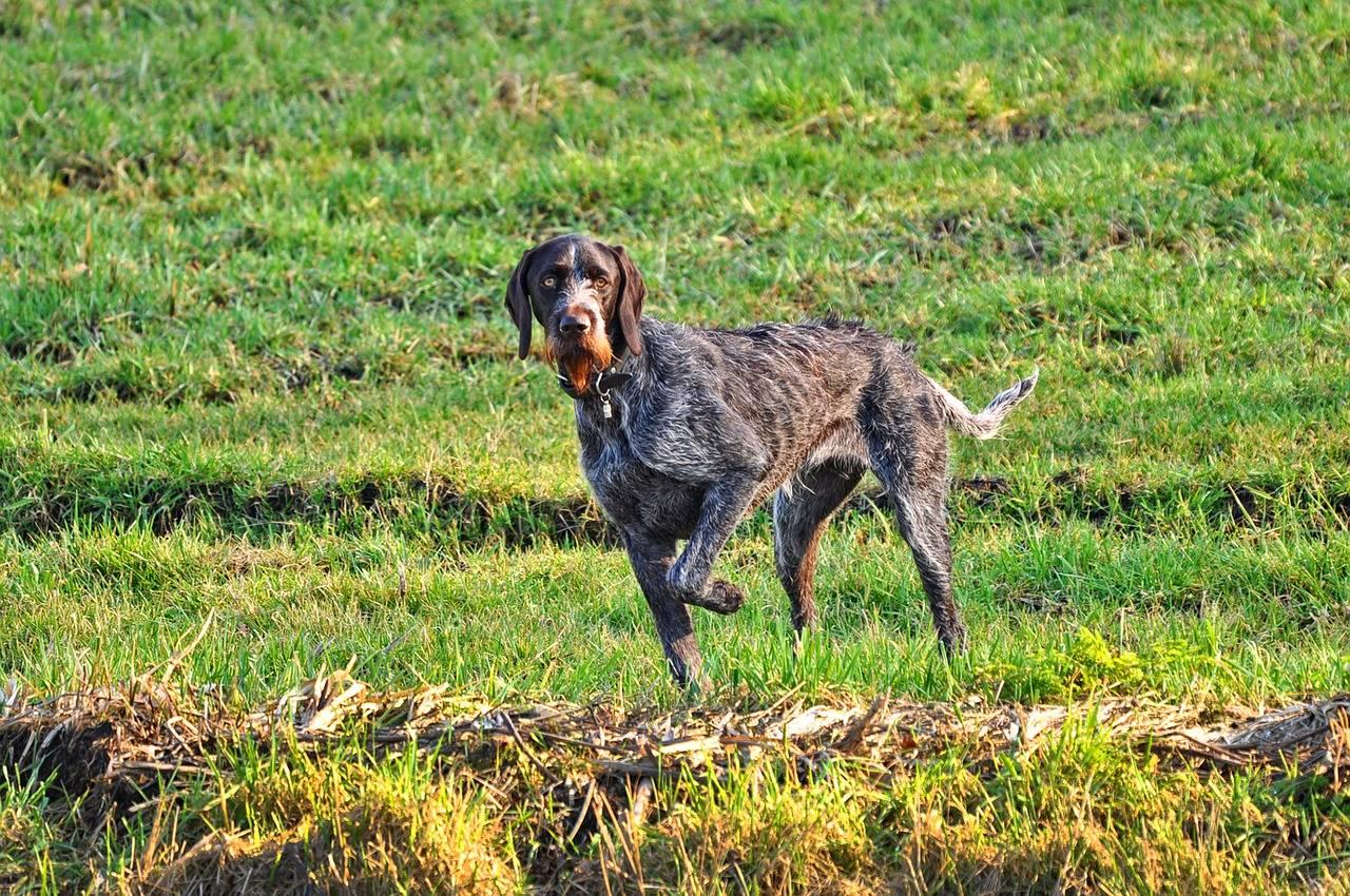 Охота с дратхааром: натаска и дрессировка щенка