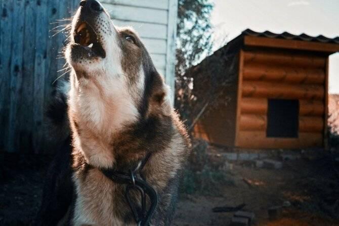 Жаловаться или нет: что делать, если у соседей воет собака, собака воет соседи жалуются что делать.