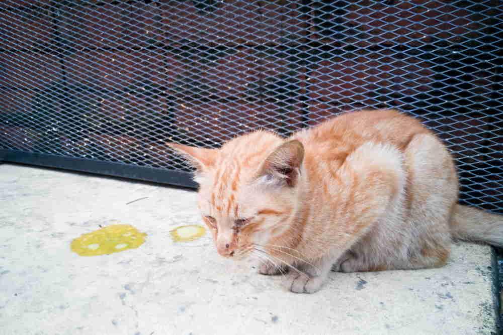 Рвота у кошек: ? причины, виды, первая помощь, лечение