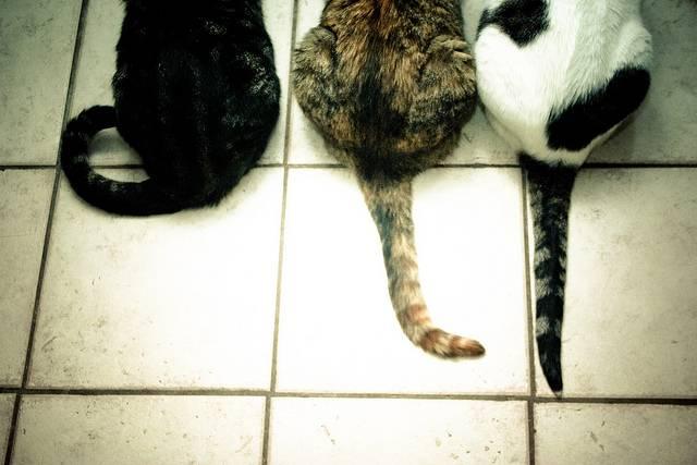 Почему коты виляют хвостом