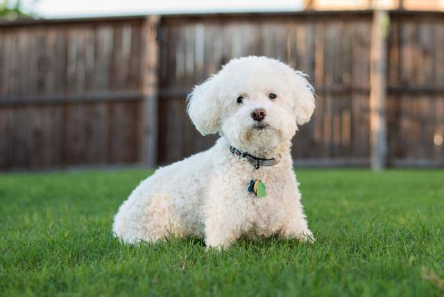 Гипоаллергенные породы собак: причины аллергии, какие существуют собаки для аллергиков и астматиков