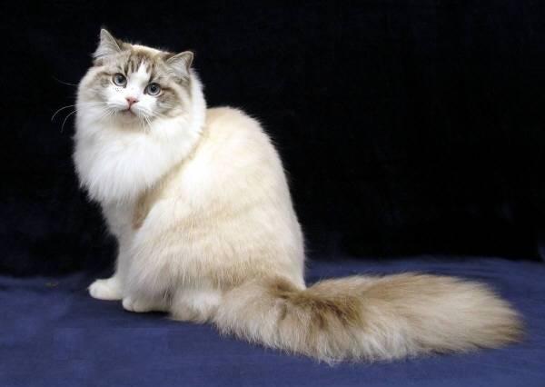 Что такое рагамаффин — описание породы кошек