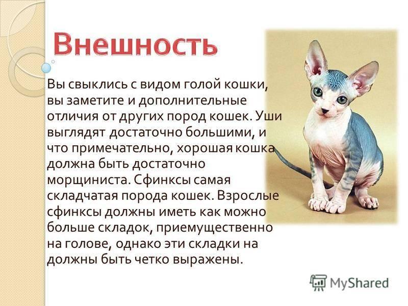 Канадский сфинкс — описание породы кошек