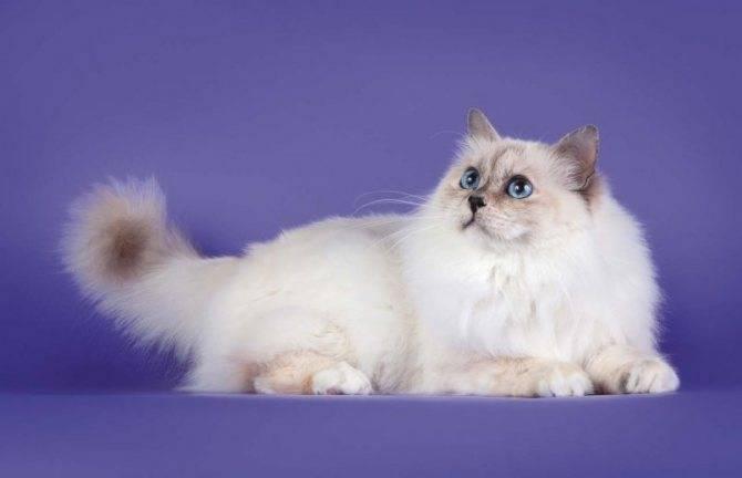 Священная бирманская кошка-40 фото, описание породы, котята