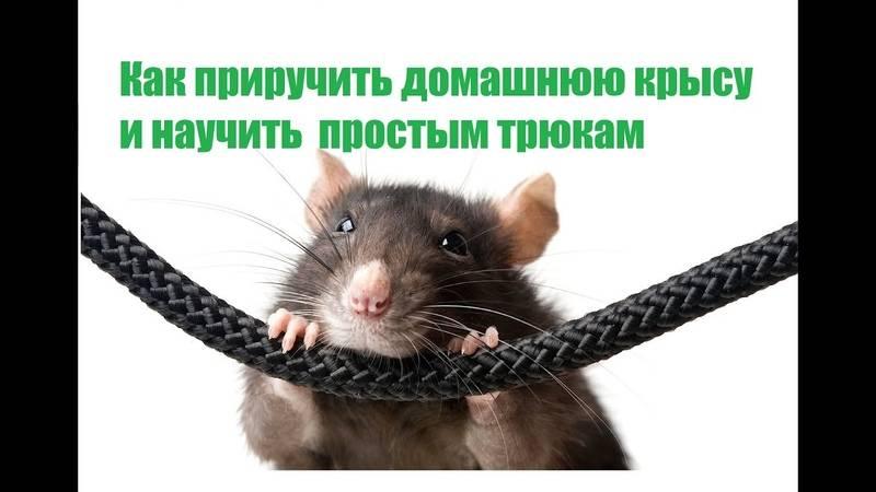 Как дрессировать крысу в домашних условиях: воспитание и приучение к командам