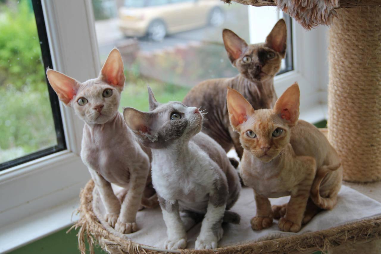 Гипоаллергенные кошки: список основных пород