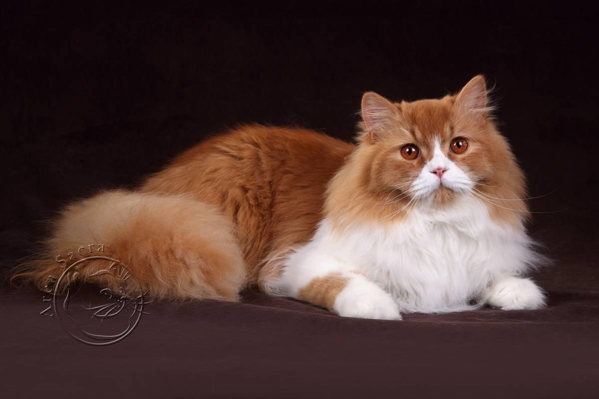 Серый кот: особенности, генетика дымчатого окраса, обзор пород с голубым цветом шерсти
