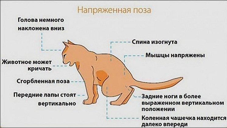 Что делать при недержании мочи у кота