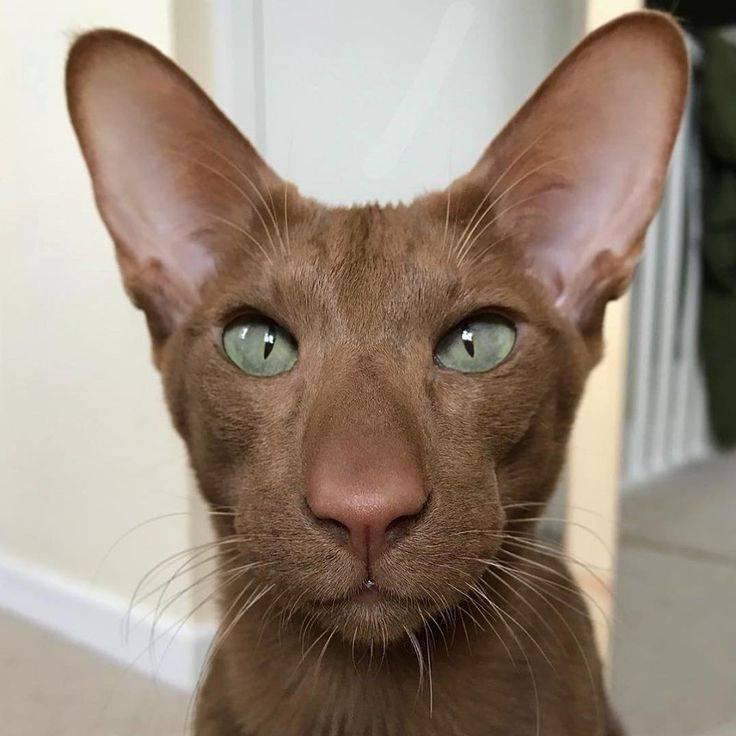 Самая страшная порода котов. страшные породы кошек показать самую страшную в мире кошку - умный доктор