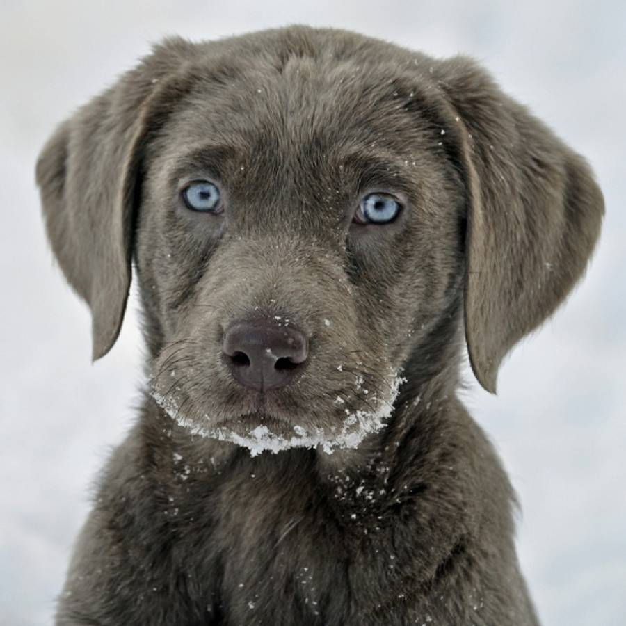 Бывают ли лабрадоры ретриверы шоколадного окраса с голубым цветом глаз