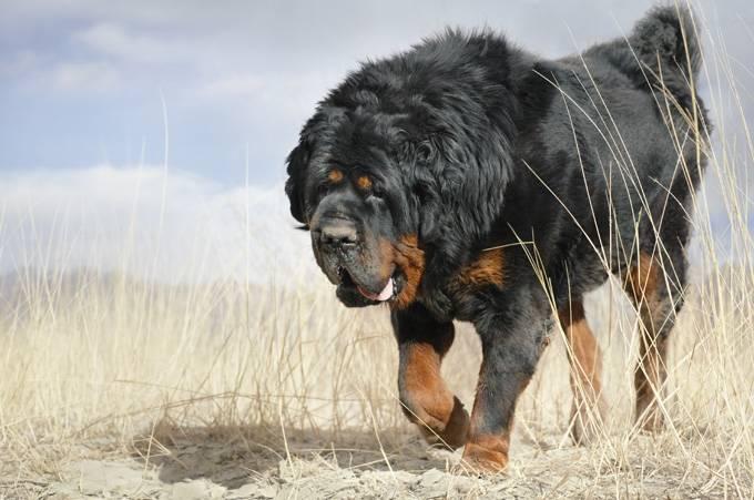 Самые опасные породы собак в мире. топ 5 мест