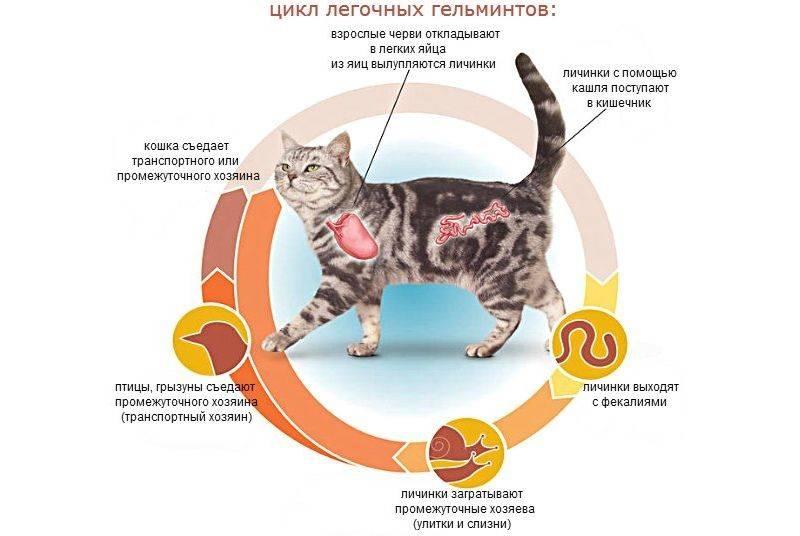 Глисты, передающиеся от собаки человеку, можно ли заразиться собачьими гельминтами, как передаются, опасно ли заражение?