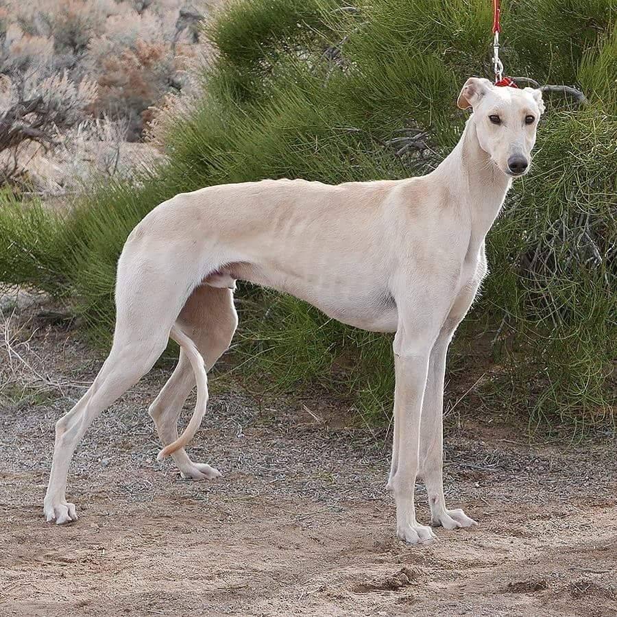 Левретка — итальянская борзая собака