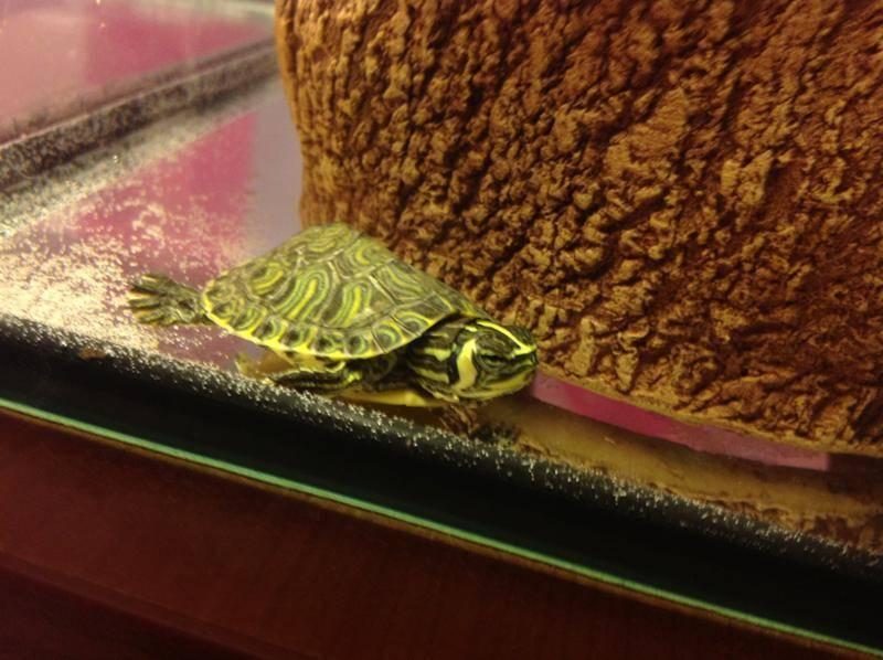Сколько лет живут черепахи в домашних условиях: морские, красноухие